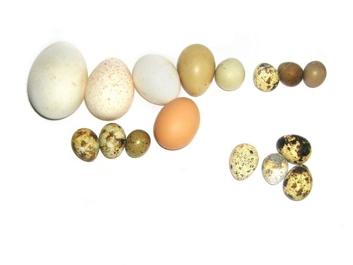 6552545-Colecci-n-aislado-en-blanco-de-huevos-de-Pascua-fais-n-codorniz-pato-ganso-huevos-de-ping-ino-Foto-de-archivo